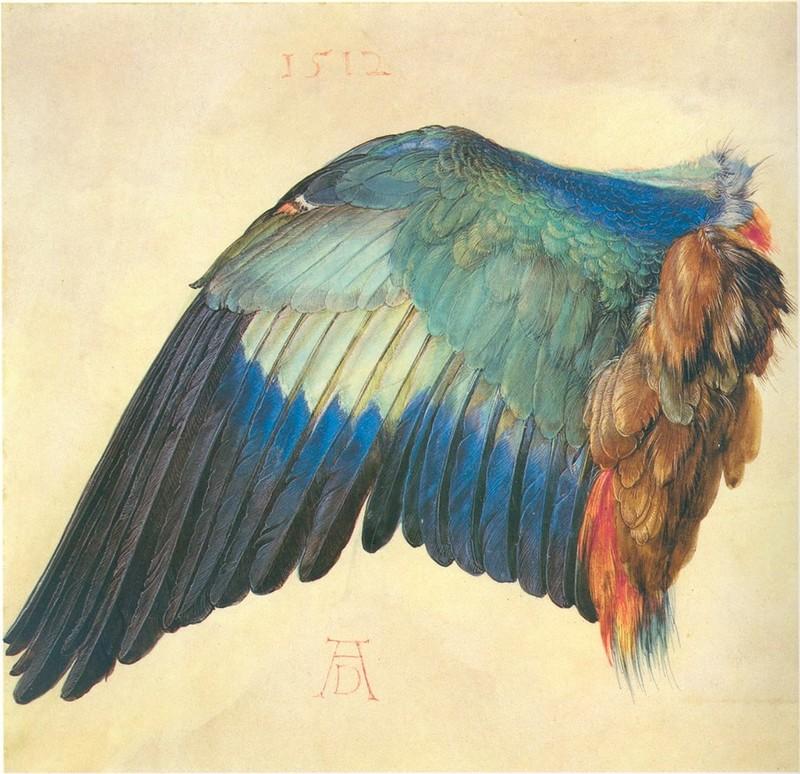 А.Дюрер. Крыло синебрюхой сизоворонки. 1512 г.