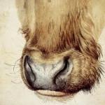 А.Дюрер. Морда коровы. 1527 г.