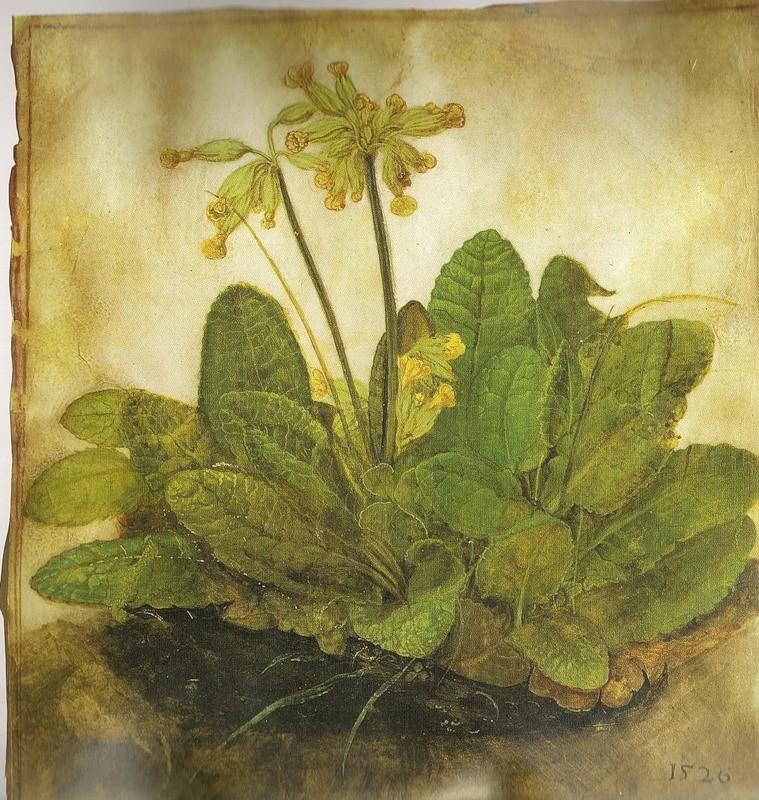 Альбрехт Дюрер (1471-1528) Примула обыкновенная
